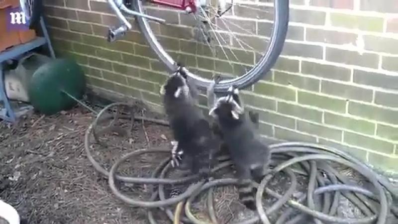 Еноты и велосипед