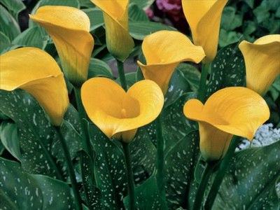зантедеския: выращивание современных сортов зантедеския красивое и интересное растение семейства ароидные. его латинское название «zantedeschia», а в народе его часто называют «белокрыльник»,
