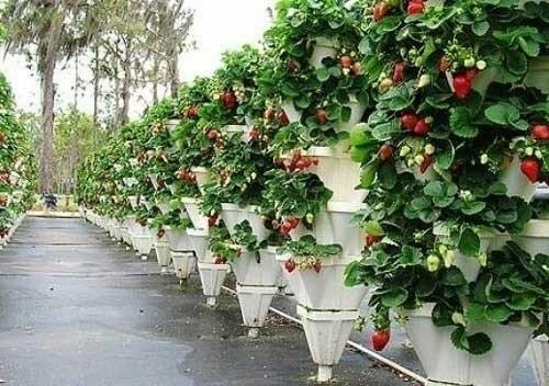 клубника на вертикальных грядках. замечательная идея для тех, у кого небольшой огородик. замечательно экономит место. такие грядки можно использовать не только для клубники.идеи для вашего