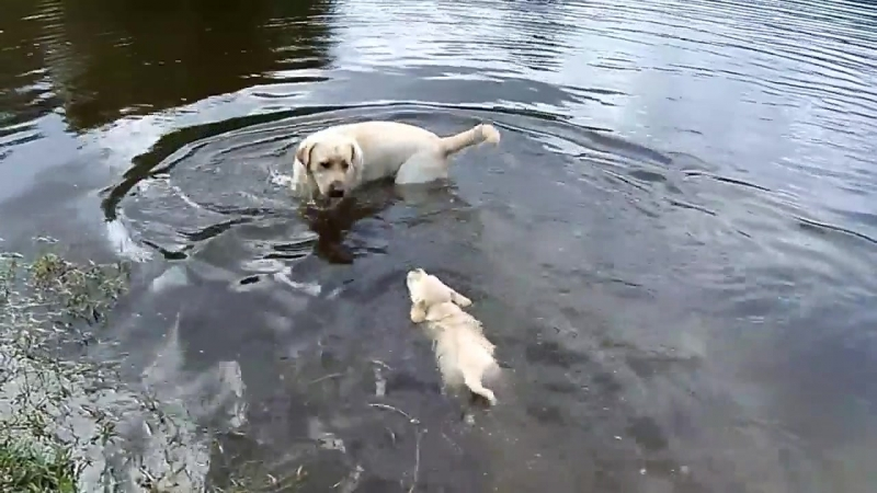 Labrador Father Teaches Puppies To Swim.mp4