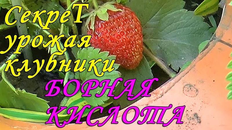 Борная кислота главный секрет супер урожая клубники Уход во время цветения клубники