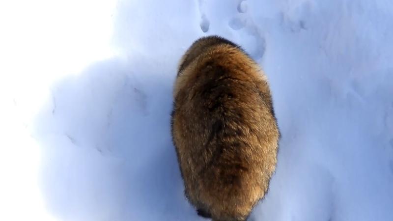 雪の中を不器用にとぼとぼ歩いてるタヌキ Tanuki walks in an unfamiliar snowfield