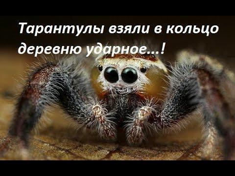 Южнорусский тарантул атакует Беларусь