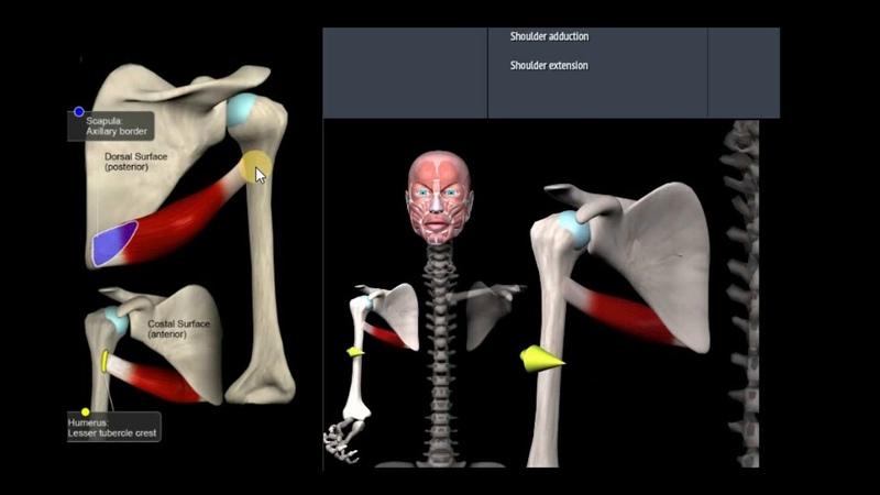 Анатомия. Большой круглой мышцы. Функции, начало, крепление