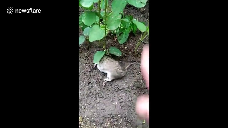Rat found live with soya beans plant
