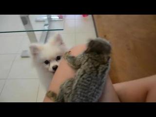Un ouistiti à oreilles blanches joue avec un chien