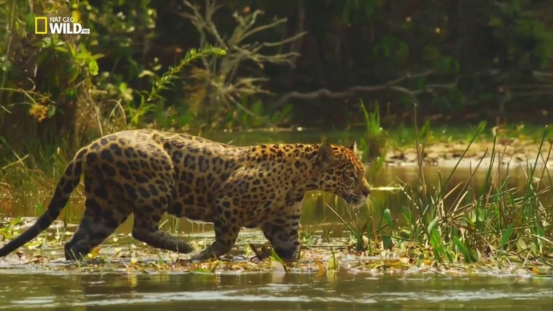 Nat Geo Wild Дикая Колумбия Серия 3 Чирибикете путешествие к сердцу Амазонки 1080р
