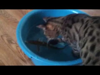 Бенгальская кошка ловит рыбу! Часть 2