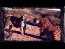 Тигриные страсти Схватка тигров Южная Африка Настоящая агрессия