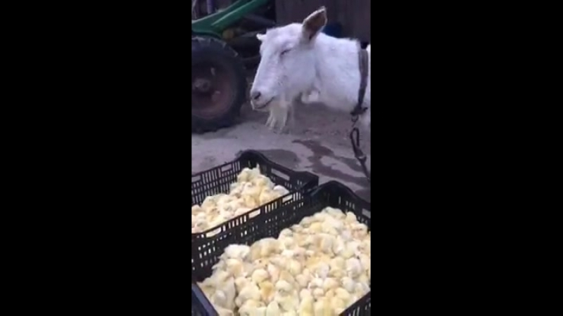 Goat eating chick