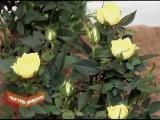 Комнатные розы. Как ухаживать?