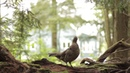 RUFFED GROUSE DRUMMING sound video