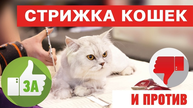 Стрижка кошек это вредно За и против На что обратить внимание