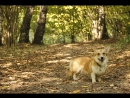 Trua rivyer vive ut vivas Varya the corgi - 1 year - Autumn - Some tricks