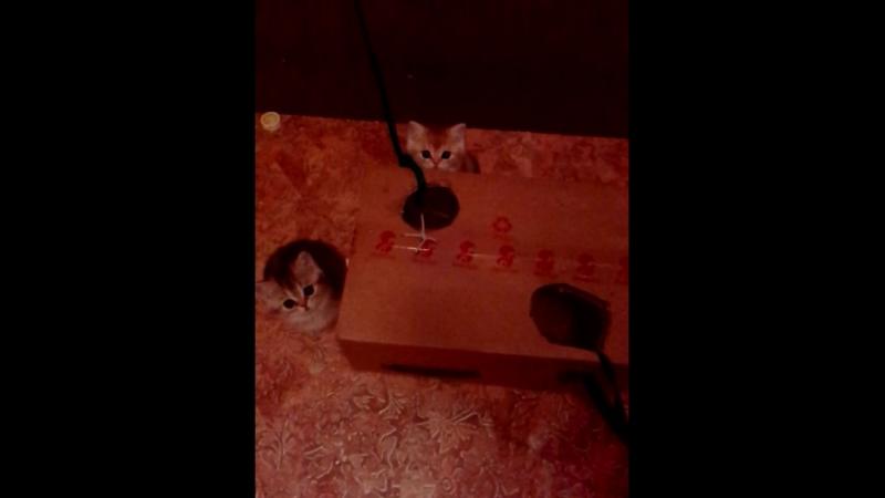 британцы золотые тиккированные-продажа. Котик(посветлее)-зарезервирован. Кошечка-свободна.