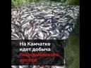 Уничтожение лосося чтобы рыночная стоимость не падала