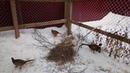 Вольер для фазанов Разведение фазанов Нескучная жизнь в деревне