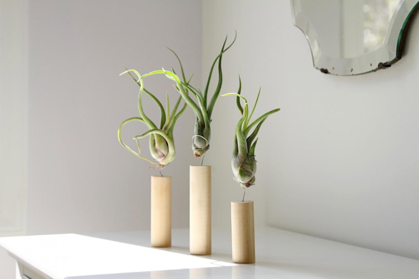 Атмосферные растения (тилландсия) DGxMDnvObhY