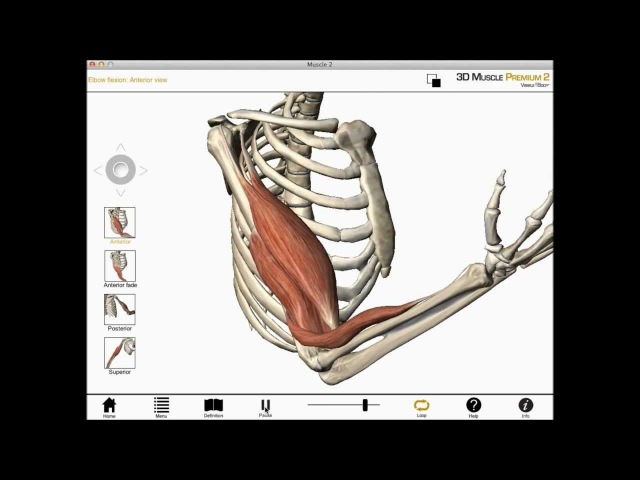 Elbow flexion, shoulder flexion, and forearm supination (Biceps brachii) muscle actions
