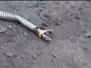 В пригороде Улан-Удэ, опасаясь за свою жизнь, местные жители убили краснокнижную змею