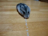 Hamster Pacman