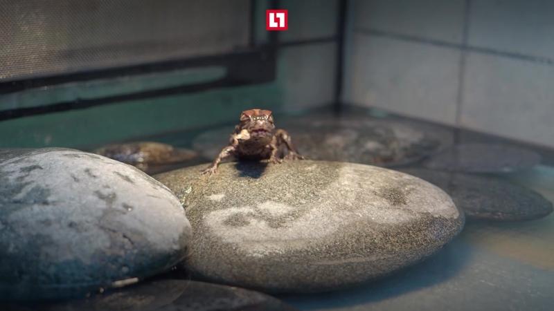 Мимимишное видео с детенышем каймана