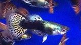 Гуппи Кобра Королевская Красная (самец) Poecilia reticulata Red King Kobra Guppy продажа оптом