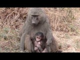 Mother baboon and baby having a snack