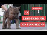 В Самарском зоопарке родились канадские волчата