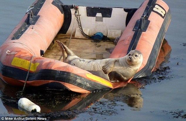 Довольный тюлень принимает солнечную ванну