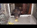 Tiny injured bear - Laos rescue 59 Tuesday June 26