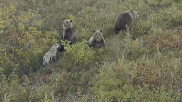 Собака друг медведя как бездомная лайка вошла в семью косолапых