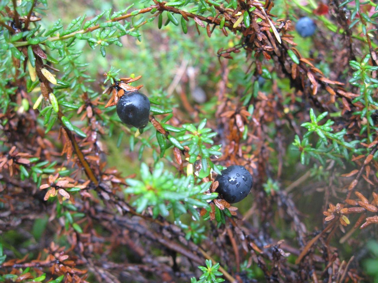 Ягоды севера: Водяника черная (Шикша). Дар природы, о котором почти никто не знает.