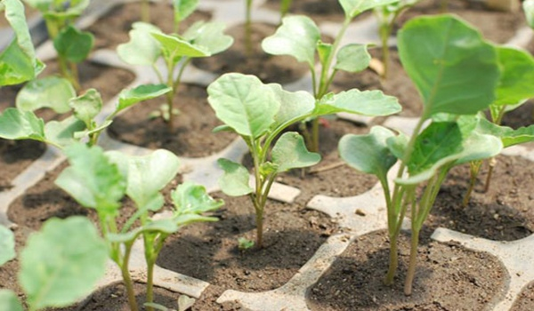 Когда сажать капусту на рассаду в 2019 году