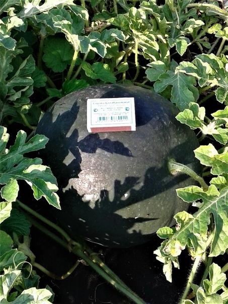 Основные правила выращивания рассады арбузов в средней полосе России.