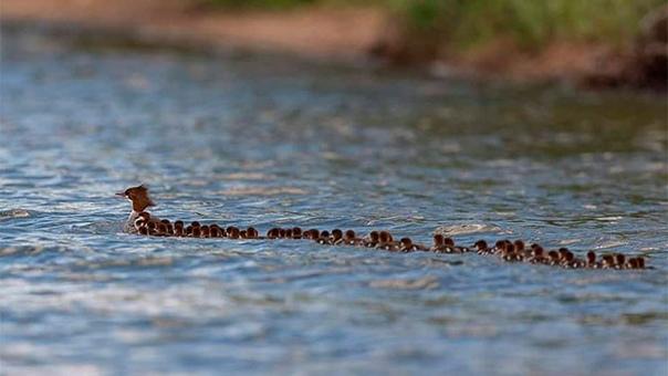 Фотограф снял утку с 76 утятами. Как это возможно