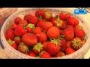 Клубничный рай: на Черниговщине время ягодного блаженства