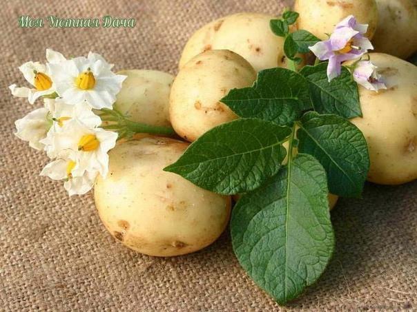 советы по выращиванию картофеля чем меньше клубень картофеля, тем крупнее он дает клубни, и наоборот. поэтому лучше всего сажать клубни средней величины, либо разрезать большие клубни так чтобы