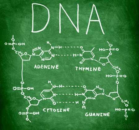 Основа ДНК поддерживает аденин, тимин, цитозин и гуанин.