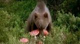 Медведь и мухоморы