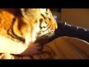 Домашний ручной Тигр лежит в кроватке