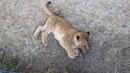 Очень игривые львята