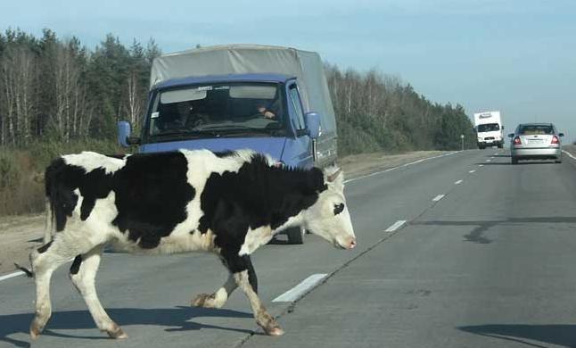 ОГИБДД: бесхозяйственность владельцев крупного рогатого скота удивляет