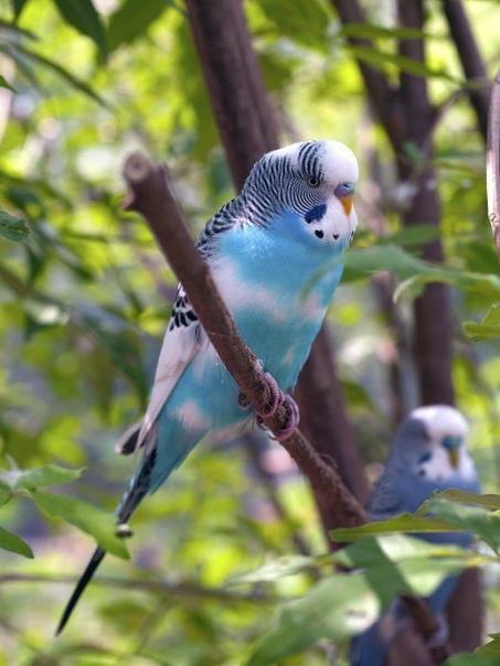 Клювы попугаев имеют особую конструкцию, позволяющую птицам орудовать...