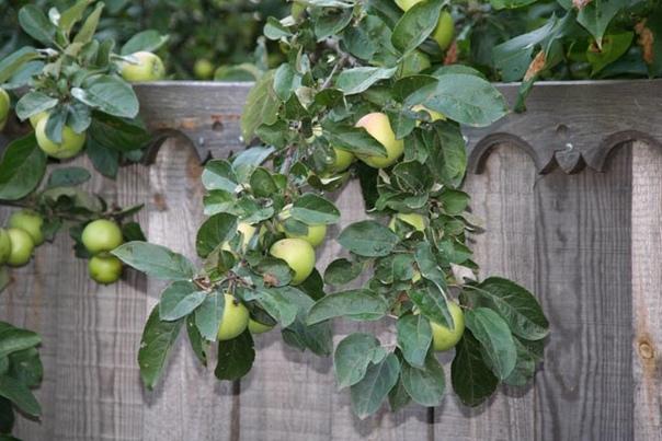 Ветка соседской яблони свисает через забор на участок. Кому она принадлежит? Можно ли её срезать?