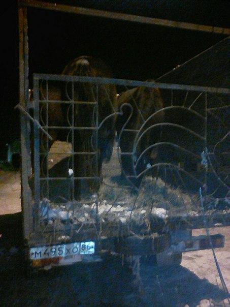 """""""Покрыты инеем"""". В центре Омска лошади уже два дня замерзают в грузовике MztUUHPzzl0"""