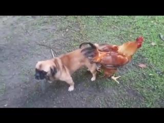 dog_chicken._fuck