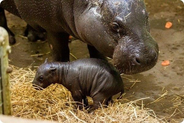 Зоопарк Марвелл (Marwell Wildlife Zoo) в Хемпшире (Великобритания) представил новорожденного детеныша карликового бегемота, появившегося на свет 13 декабря. Малышка, которой уже дали имя Глория (Gloria),... #zoopicture #Бегемот #Животные