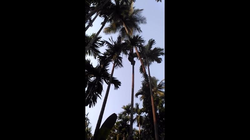 Сборщик кокосов