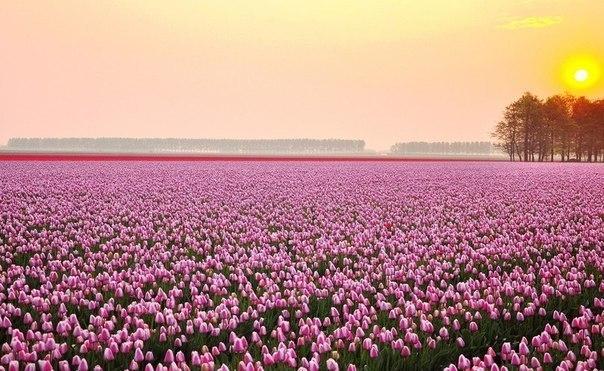 Поле тюльпанов, Нидерланды.